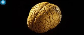 Вес мозга человека