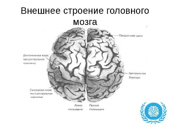 Проводящая функция головного мозга